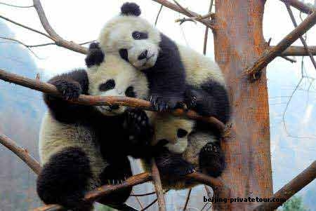 Do you want to visit Beijing Panda House to see the lovely Giant Pandas? Do